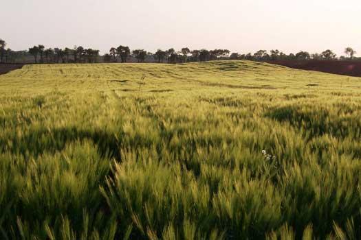 barleysunsettri