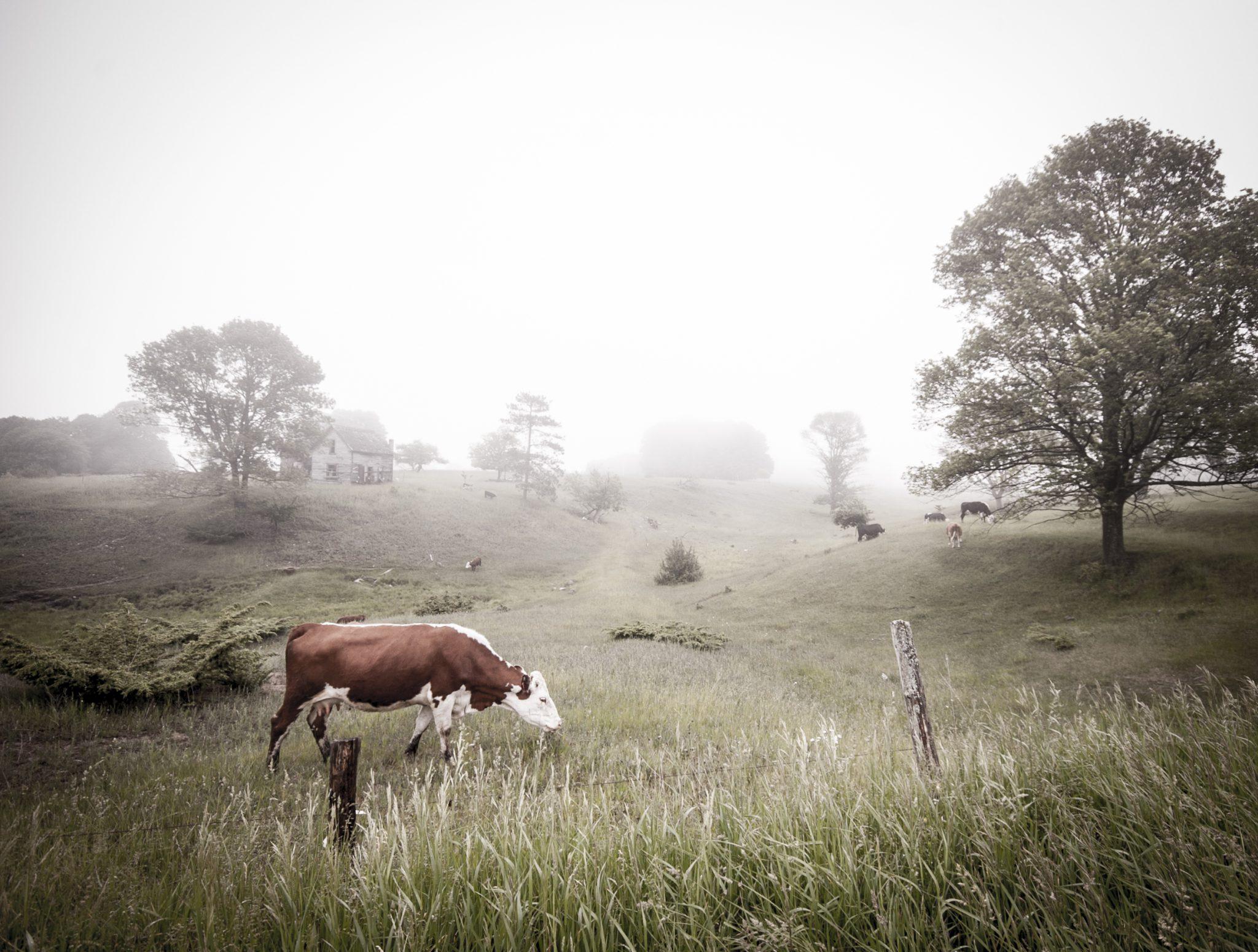 cows_in_fog