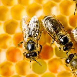 honeybees_copy