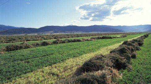 alfalfa-field_21165_52524
