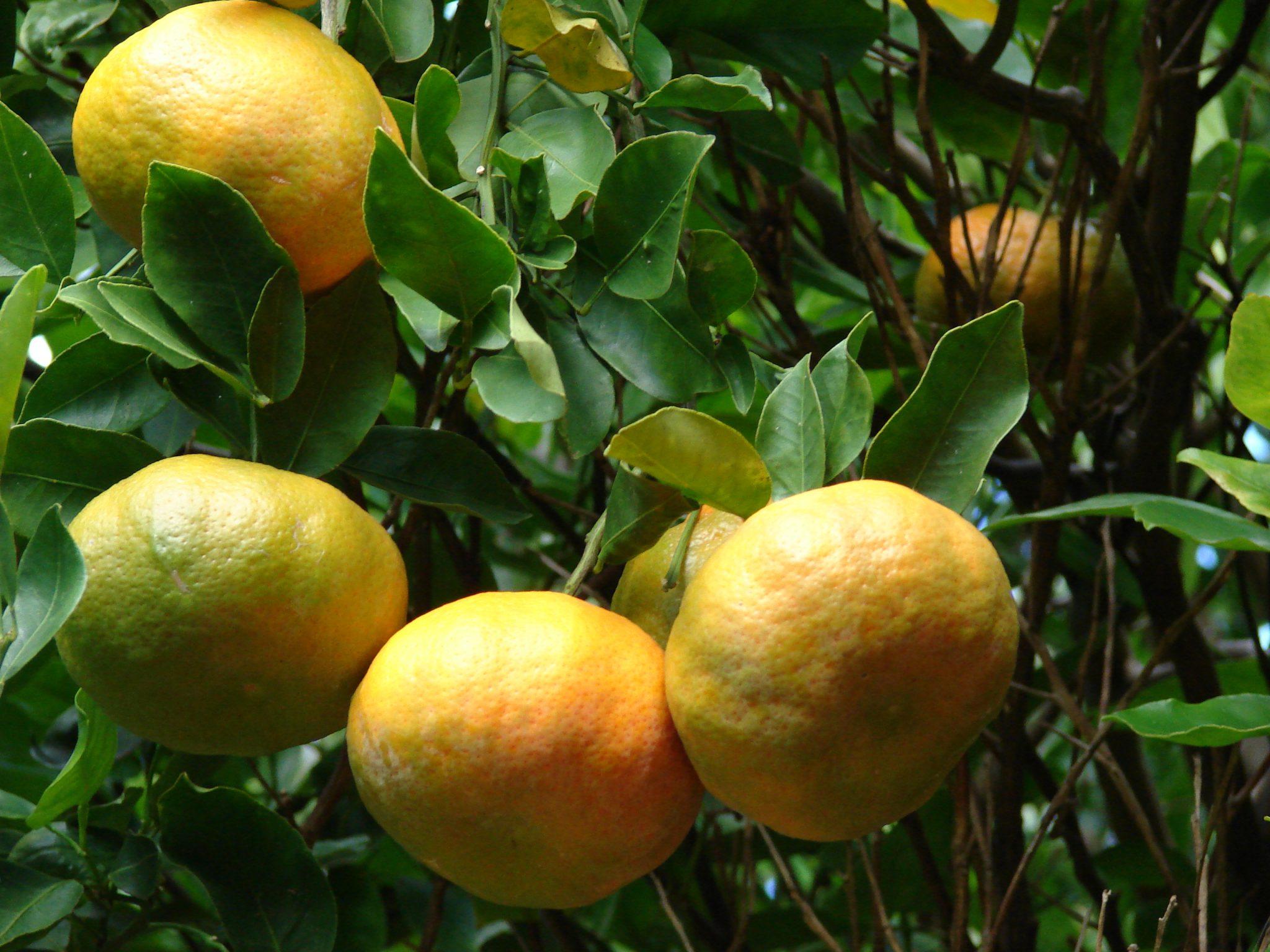 Starr_061231-3025_Citrus_reticulata