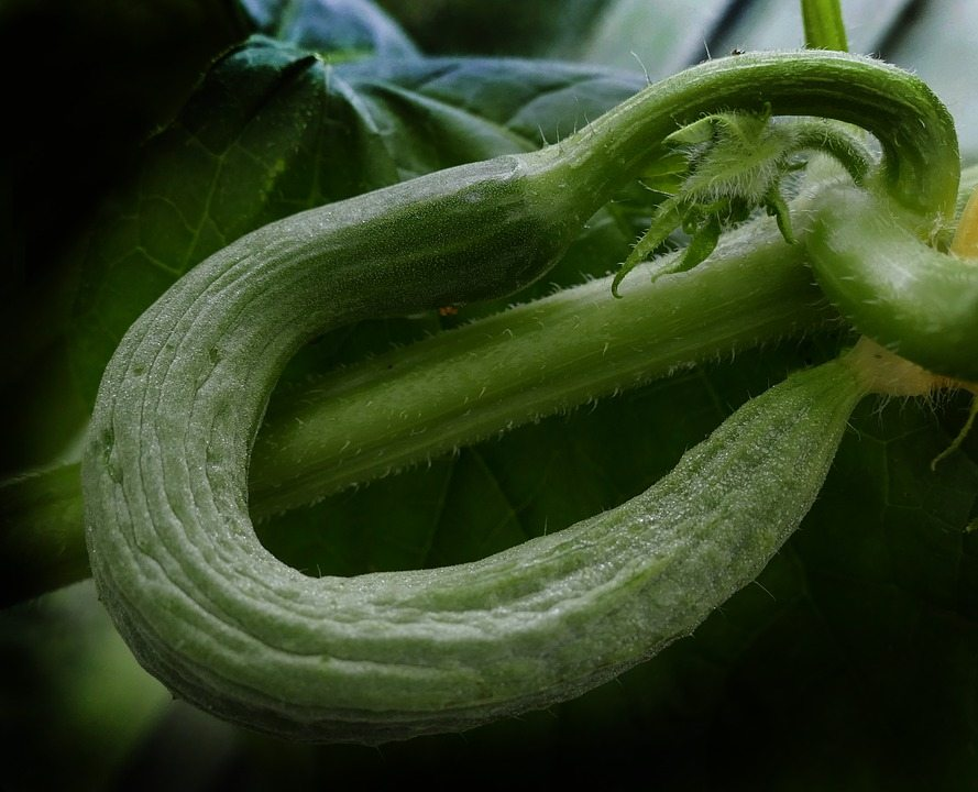 Cucumber-Crooked-Snake-Pickle-Fruit-Set-Bent-2568446.jpg