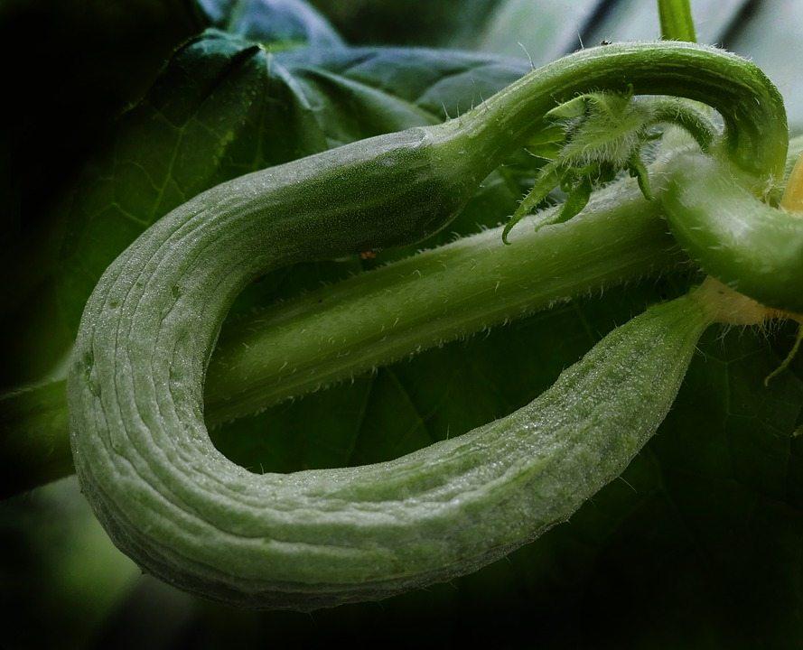 Cucumber-Crooked-Snake-Pickle-Fruit-Set-Bent-2568446.jpg